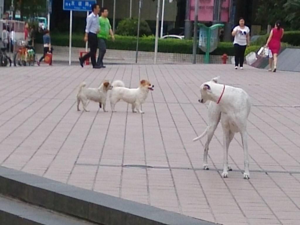 chinese-dog (19)