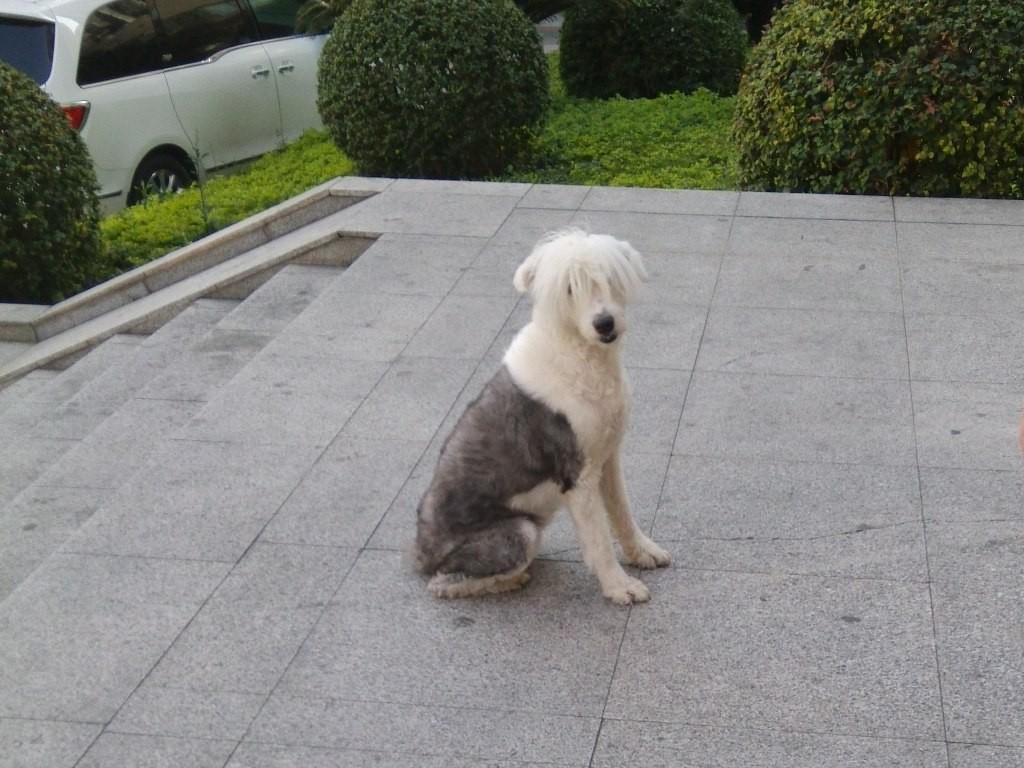 chinese-dog (7)