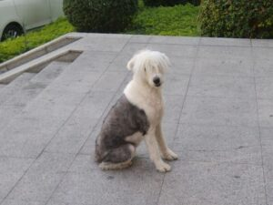 chinese-dog-53